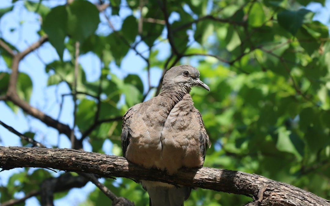 Obrzeżek gołębi